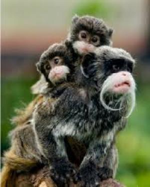 بريطانيا :  لصوص يسرقون قرود مهددة الأنقراض من داخل حديقة حيوانات