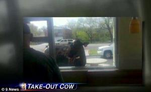 بقرة تهرب من المزرعة إلى مطعم ماكدونالدز