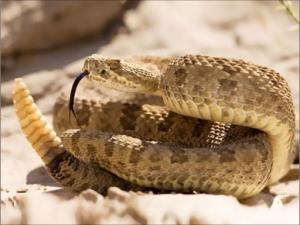 اكتشاف مرض للثعابين يسبب ألتفاف جسمها بطريقة يصعب عليها فكها