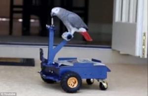 أمريكي يصمم سيارة لببغاء يقود بمنقاره