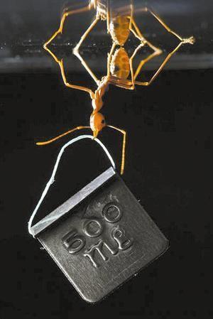 ألتقاط صورة لنملة تمكنت من تحمل ضعف وزنها 100 مرة