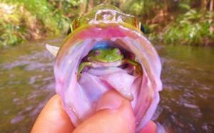 إستراليا : صياد يعثر علي ضفدعة حية داخل سمكة