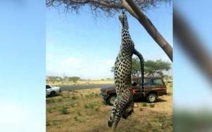السعودية : السلطات تحقق في قتل نمر عربي نادر