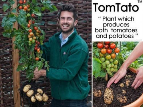 بريطانيا : شركة تتمكن من تعديل نبتة لإنتاج البطاطس والطماطم في نفس الوقت