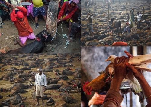 نيبال : ذبح ربع مليون حيوان وطائر  في يومين بأحتفالات هندوسية