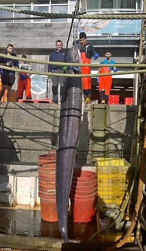 أصطياد أكبر ثعبان بحر في العالم عن طريق الخطأ