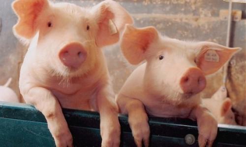 الخنازير تحب الموسيقى الكلاسيكية وتكره الروك والميتال