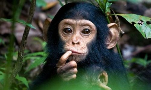 دراسة: الشمبانزي لديه حس أخلاقي كالإنسان