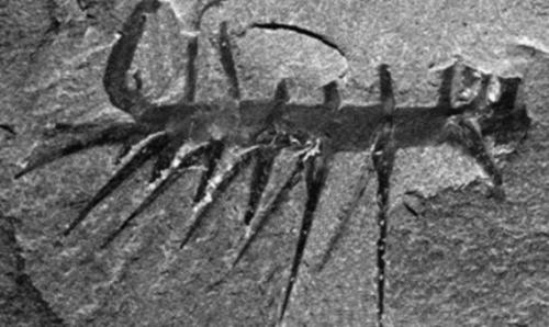 كائن حي يحير العلماء ﻷكثر من نصف قرن لتحديد رأسه من ذيله