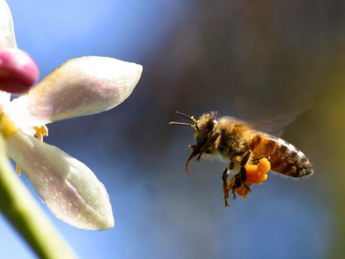 إنخفاض أعداد النحل وأينشتاين تنبأ بفناء البشرية في حالة إنقراض النحل
