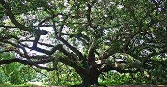 وفاة أقدم شجرة بلوط فى الأردن عن عمر يناهز 750 عام