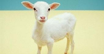 ملايين الصينيين يزورون مزرعة شهدت ولادة نعجة لجرو