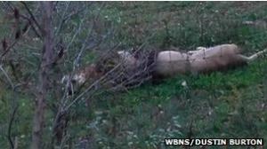 الشرطة اﻷمريكية تقتل عشرات الحيوانات الهاربة من حديقة حيوان
