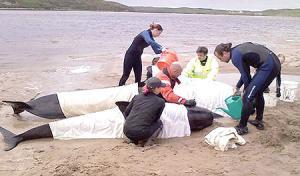أنتحار عشرات الحيتان في نيوزيلندا
