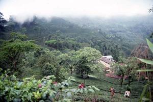 أستخدام  روث الباند في إنتاج أغلي شاي في العالم