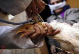 نجاح أول عملية جراحية لدجاجة في السعودية